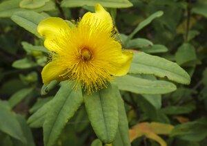 Hypericum frondosum - Margie Hunter