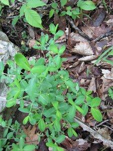 Hypericum frondosum - Tara Littlefield