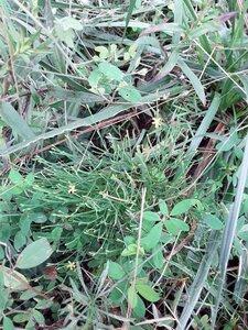 Hypericum gentianoides - Alaina Krakowiak