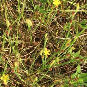 Hypericum gentianoides - Shawn Krosnick
