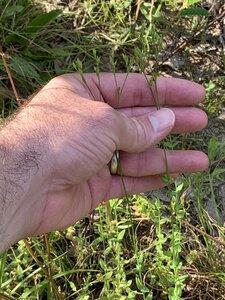Hypericum gymnanthum - Dwayne Estes