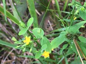 Hypericum mutilum var. mutilum - Tara Littlefield