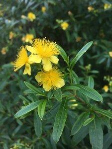 Hypericum prolificum - Tara Littlefield