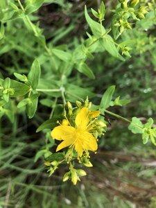 Hypericum pseudomaculatum - Milo Pyne