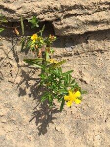 Hypericum sphaerocarpum - Sunny Fleming