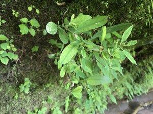 Hypericum walteri - Tara Littlefield