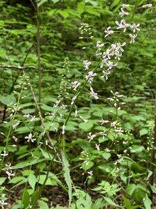 Iodanthus pinnatifidus - Shawn Krosnick