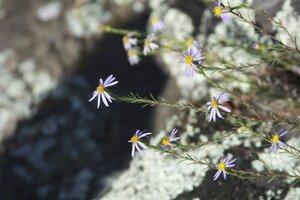 Ionactis linariifolia - Dwayne Estes