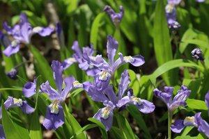 Iris cristata - Ashley B. Morris