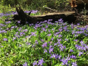Iris cristata - Joey Shaw