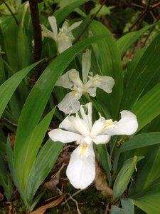 Iris cristata - Milo Pyne