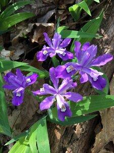 Iris cristata - Sunny Fleming