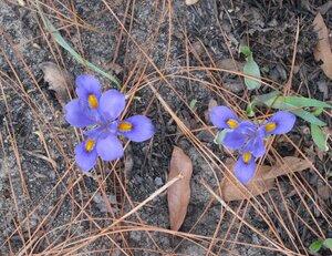 Iris verna var. smalliana - Milo Pyne
