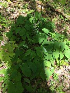 Jeffersonia diphylla - Tara Littlefield