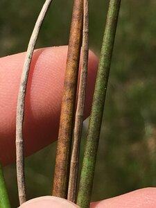 Juncus acuminatus - Dwayne Estes