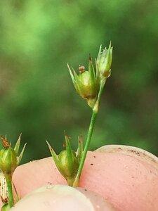 Juncus anthelatus - Dwayne Estes