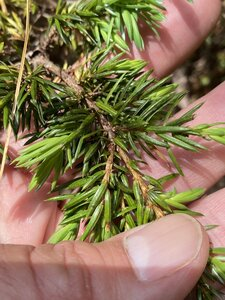 Juniperus communis - Dwayne Estes