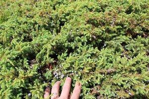 Juniperus communis var. depressa - Joey Shaw