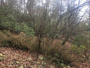 Juniperus communis var. depressa - Tara Littlefield