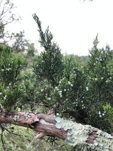 Juniperus virginiana var. virginiana - Ashley B. Morris