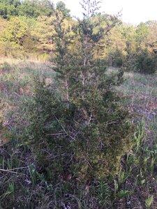 Juniperus virginiana var. virginiana - Dwayne Estes