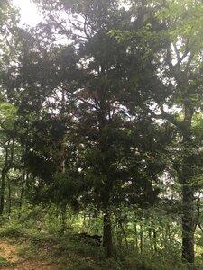 Juniperus virginiana var. virginiana - Joey Shaw