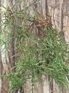 Juniperus virginiana var. virginiana - Milo Pyne