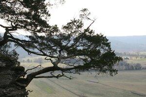 Juniperus virginiana var. virginiana - Sunny Fleming