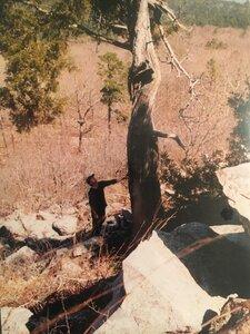 Juniperus virginiana var. virginiana - Theo Witsell