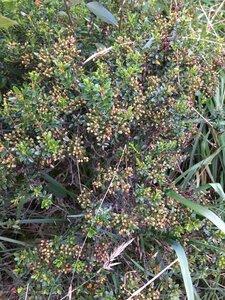 Kalmia buxifolia - Dwayne Estes