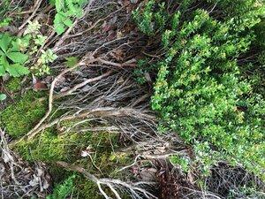 Kalmia buxifolia - Joey Shaw