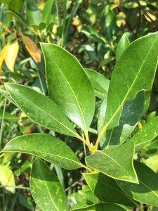 Kalmia latifolia - Dwayne Estes