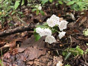 Kalmia latifolia - Sunny Fleming