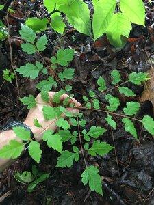 Koelreuteria paniculata - Joey Shaw