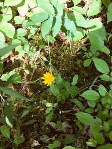 Krigia biflora var. biflora - Dwayne Estes