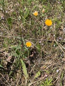 Krigia biflora - Dwayne Estes