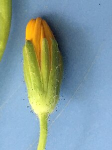 Krigia biflora var. biflora - Joey Shaw