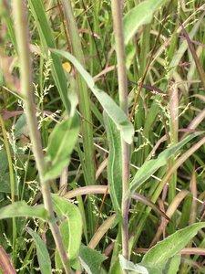 Lactuca canadensis - Dwayne Estes