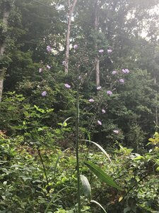 Lactuca floridana - Dwayne Estes