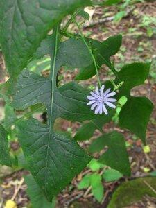 Lactuca floridana - Milo Pyne