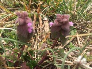 Lamium purpureum - Tara Littlefield