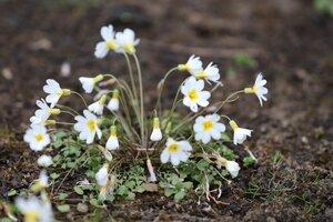 Leavenworthia stylosa - Ashley B. Morris