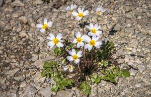 Leavenworthia stylosa - Margie Hunter