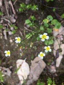 Leavenworthia torulosa - Tara Littlefield