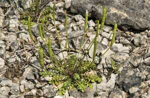 Leavenworthia uniflora - Margie Hunter