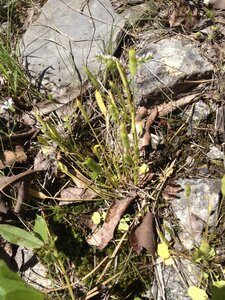 Leavenworthia uniflora - Milo Pyne