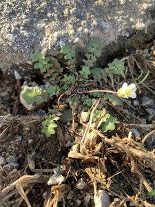 Leavenworthia uniflora - Shawn Krosnick