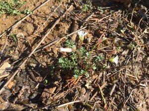 Leavenworthia uniflora - Sunny Fleming