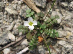 Leavenworthia uniflora - Tara Littlefield