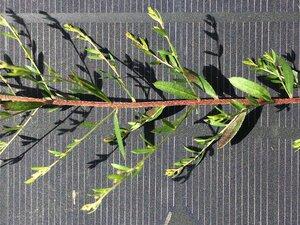 Lechea racemulosa - Dwayne Estes